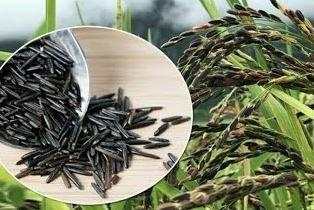 काला नमक चावल महोत्सव'
