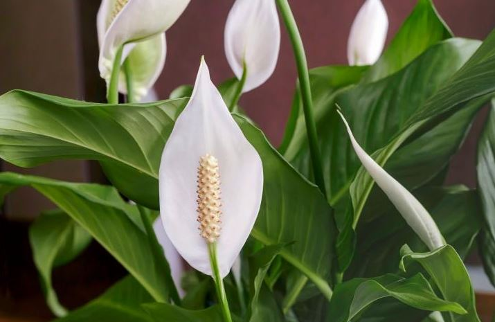 health-benefits-of-peace-lily-is-a-life-saver-for-respiratory-patients 71606
